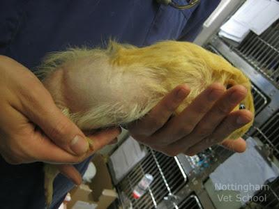 Guinea pig balding