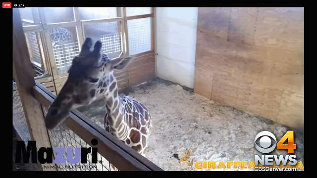 Screenshot of the April the Giraffe Livefeed