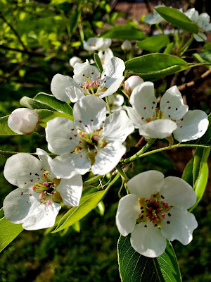 May 17, 2018 Finding joy in the blossoms of our apple tree