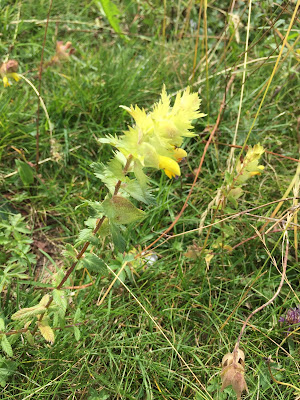 [Orobanchaceae] Rhinanthus alectorolophus – Greater Yellow Rattle (Cresta di gallo comune).