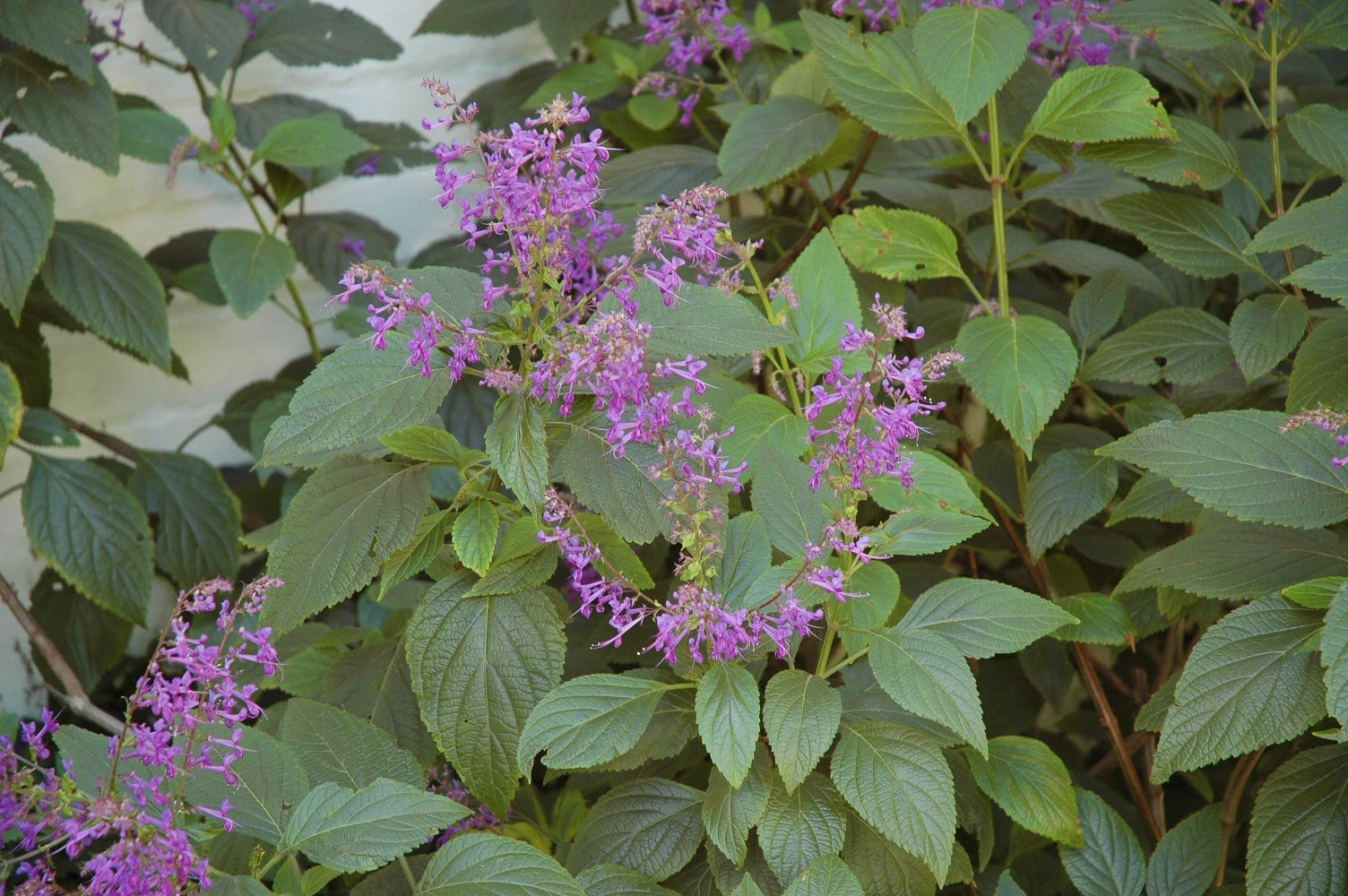 plant of the month plectranthus ecklonii. Black Bedroom Furniture Sets. Home Design Ideas