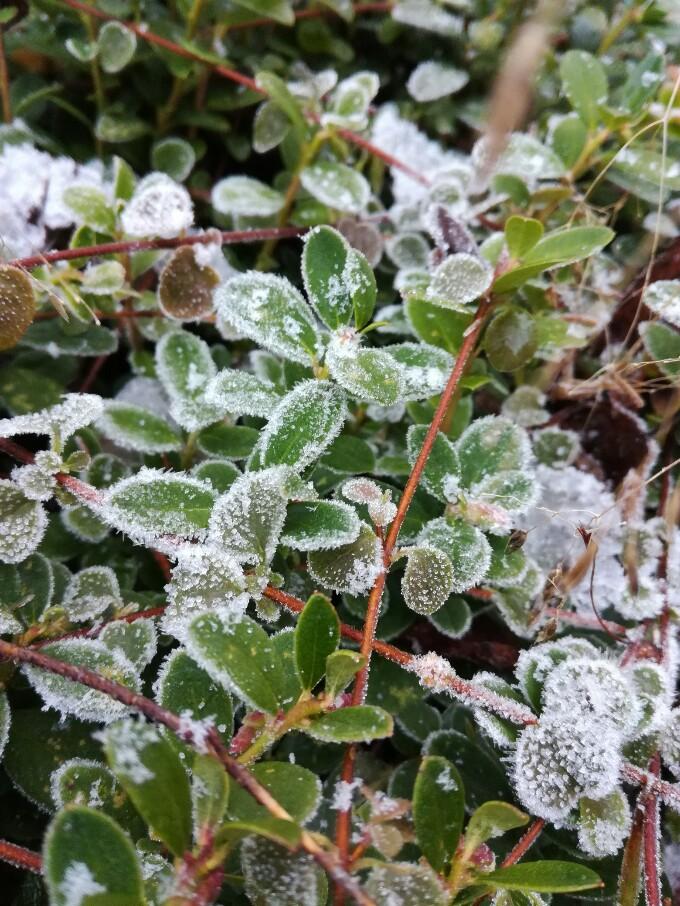 Frost i lingonris - Kajsa Snickars