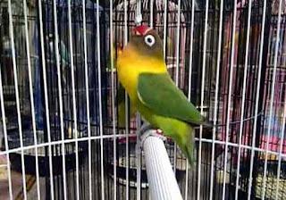Daftar Harga Vitamin Burung Lovebird Terbaru Dan Paling Lengkap Saat Ini