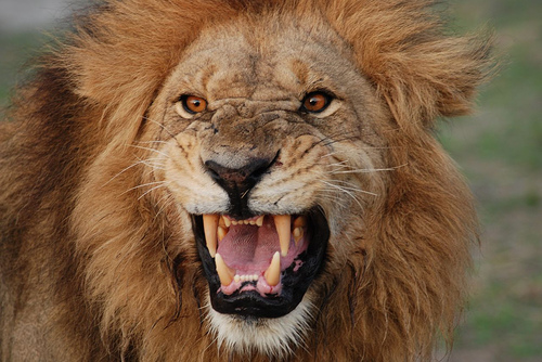 Amazing Roaring Lion All About Photo