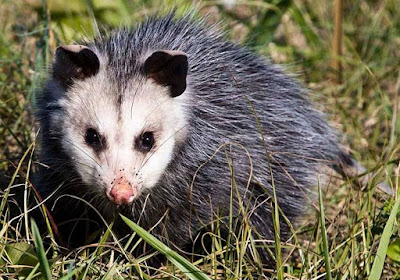 Opossum - animals starting names with  O