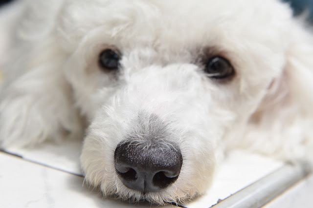 Everything you need to know about punishment in dog training, as this sad little white dog looks on