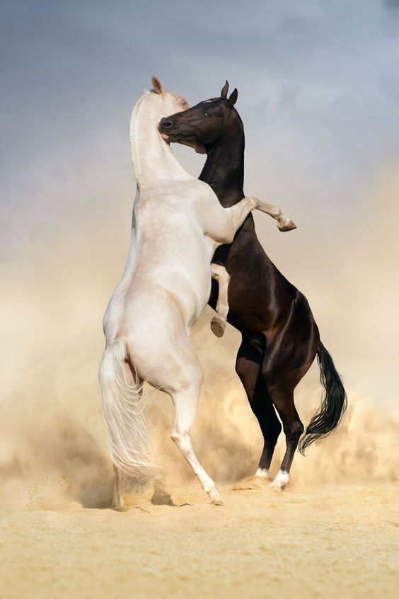 Akhal Teke Horse Of The Day Gorgeous Horses Pets Planet