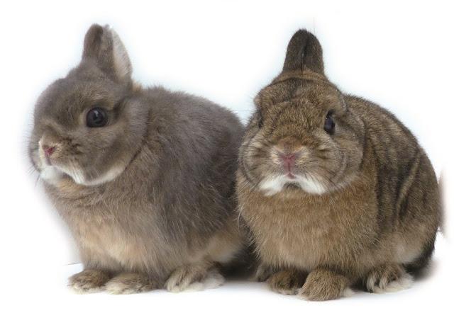 Harga Kelinci Mini Netherland Dwarf dan cara perawatannya