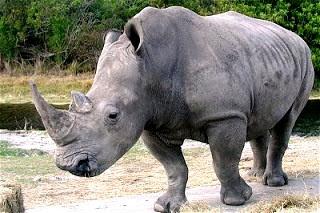 Foto de un rinoceronte gris caminando