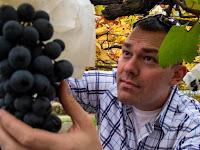 10 Arti mimpi buah anggur, melihat, makan, ungu, merah, dll