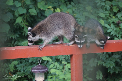 mama raccoon and two babies on the bird-feeder station