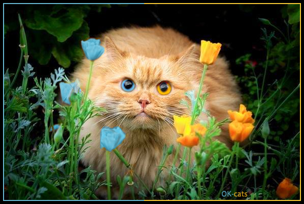 Photoshopped Cat picture • Chameleon Cat with with heterochromnia: 2 different colored eyes, orange and blue!