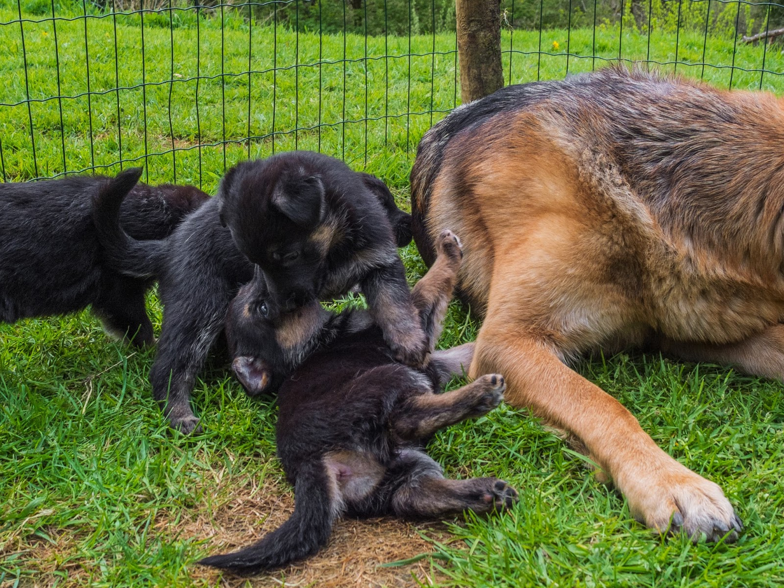 Month old German Shepherd puppies playing on the grass next to mom.