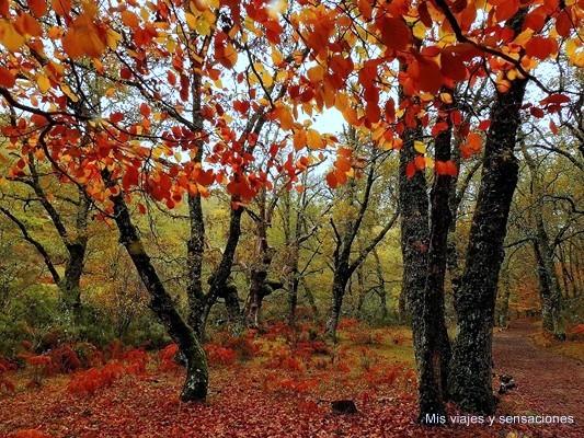 Hayedo de Montejo en otoño, Sierra del Rincón, Madrid