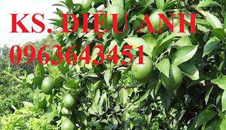 Cung cấp cây giống chanh: chanh tứ quý, chanh không hạt, chanh đào, chanh tứ thời siêu quả, uy tín