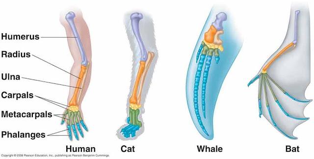 evolusi tulang