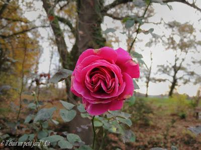 rose en hiver rouge