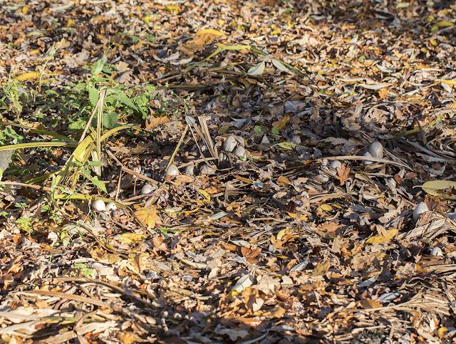 Coprinopsis atramentaria, Common Inkcap.  Hayes Common, 18 November 2016.
