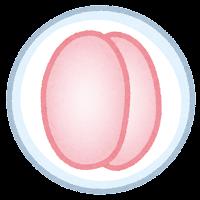 受精卵のイラスト2