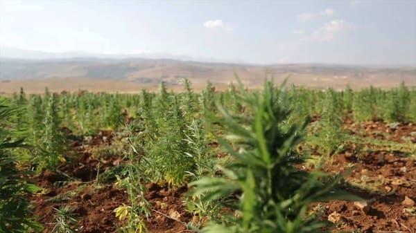 لبنان بصدد تحضير إقرار قوانين لتشريع زراعة حشيشة الكيف؟