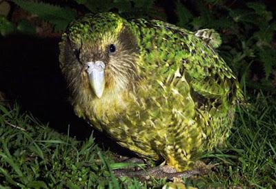 Animals That Start With K - Kakapo