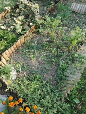 Orto di settembre: cipolle, carote e ultima portulaca