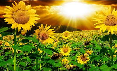 Hoa hướng dương đẹp nhất thế giới 14