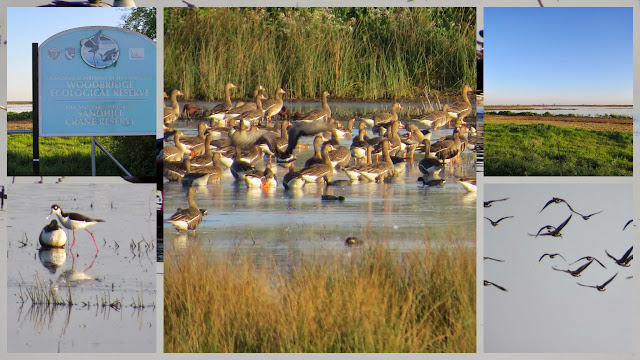 Birds of Woodbridge Ecological Reserve in Lodi, California
