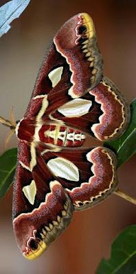 Fotografia de hermosa mariposa tonos burdeo