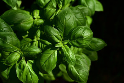 Basil Herb - Top 10 Herbs to Treat and Prevent Cancer