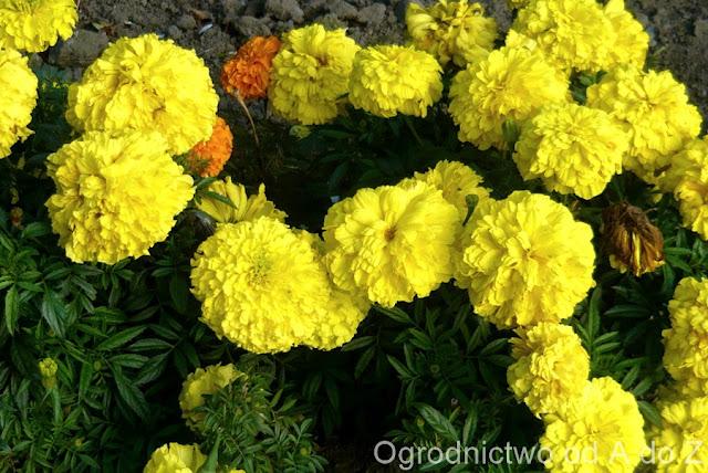 Tagetes 'Petite Yellow'