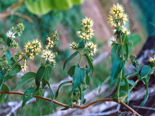 Dạ cẩm - Oldenlandia eapitellata - Nguyên liệu làm thuốc Chữa Đau Dạ Dày