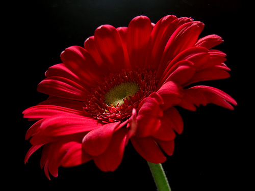 Flowers for flower lovers red daisy flowers desktop - Red flower desktop wallpaper ...