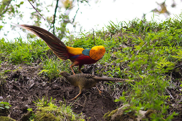 golden-pheasant-1-list-trend