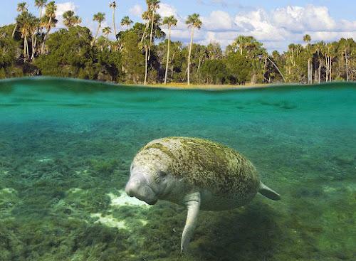 Cristal River – a reserva dos peixes-boi da Flórida