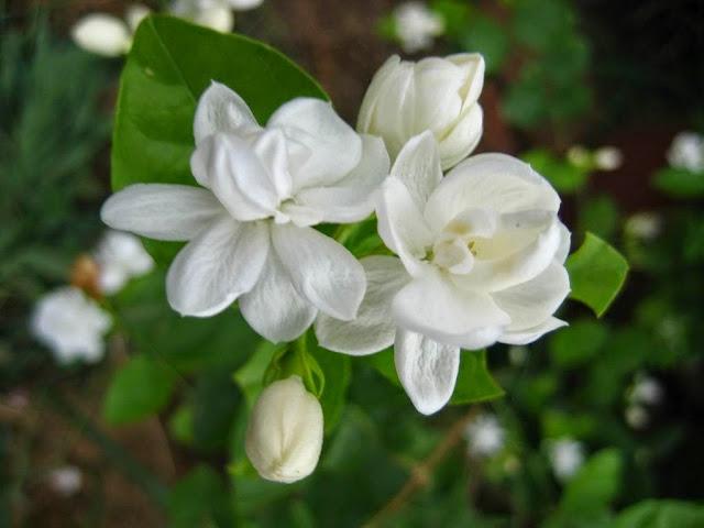 Image result for चमेली के औषधीय