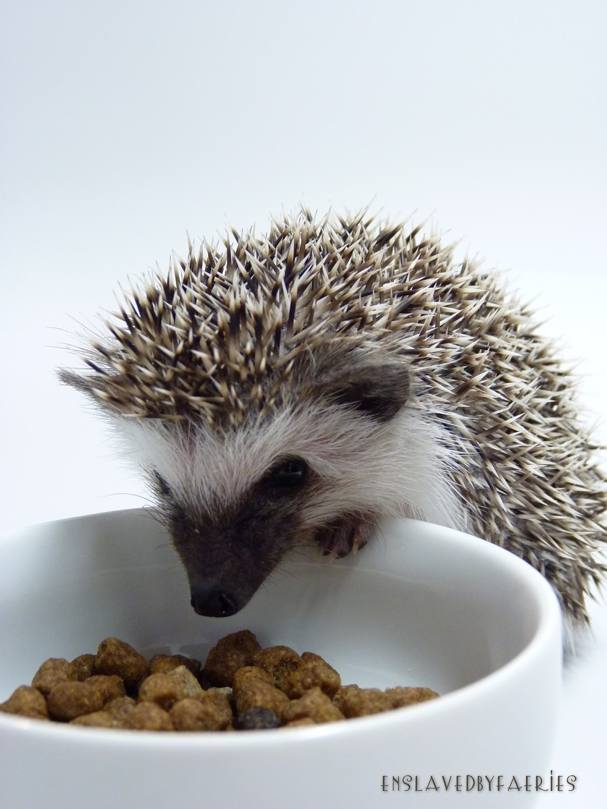 What do wild hedgehogs eat?