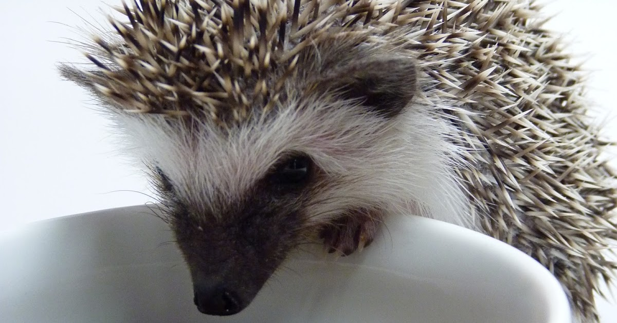 High Quality Cat Food For Hedgehogs