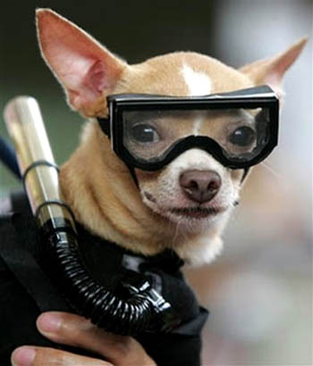 Funny Chihuahua Dogs New Photos Funny And Cute Animals