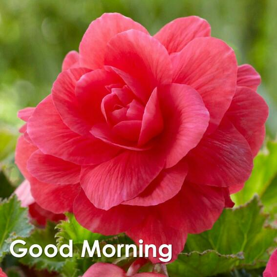 35 Begonia Good Morning Wishes Wallpapers Images Wishes Designs