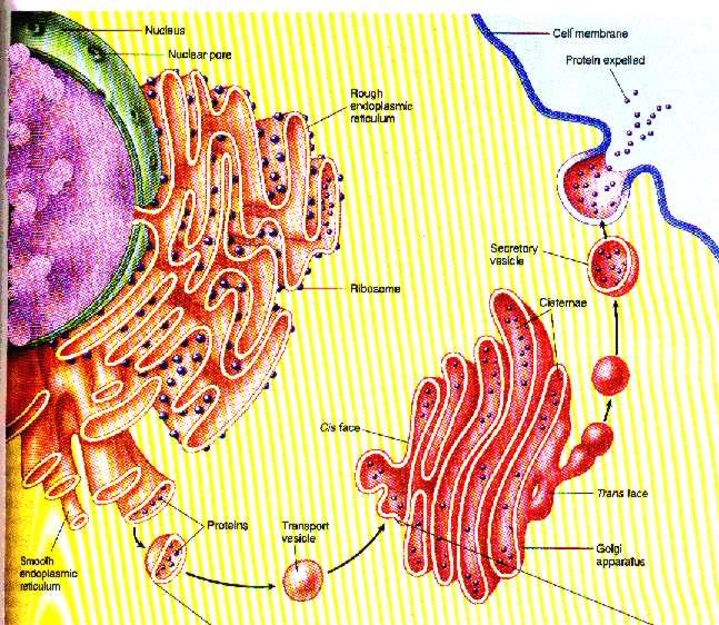 Mengenal Badan Golgi, Hal Tak Terlihat tapi Penting di Tubuh Kita