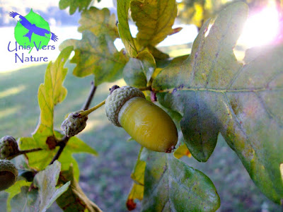 Identification chêne, glands, chêne pédonculé, stage cuisine plantes sauvages
