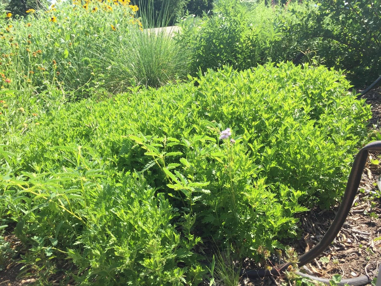 I Had Seen The First At Austin Collegeu0027s Idea Center Native Plants Garden 2  Days Earlier.