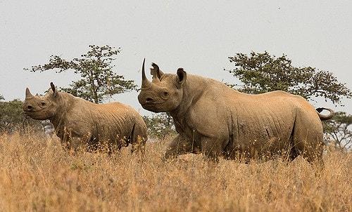 مدة-حمل-وحيد-القرن-الأسود