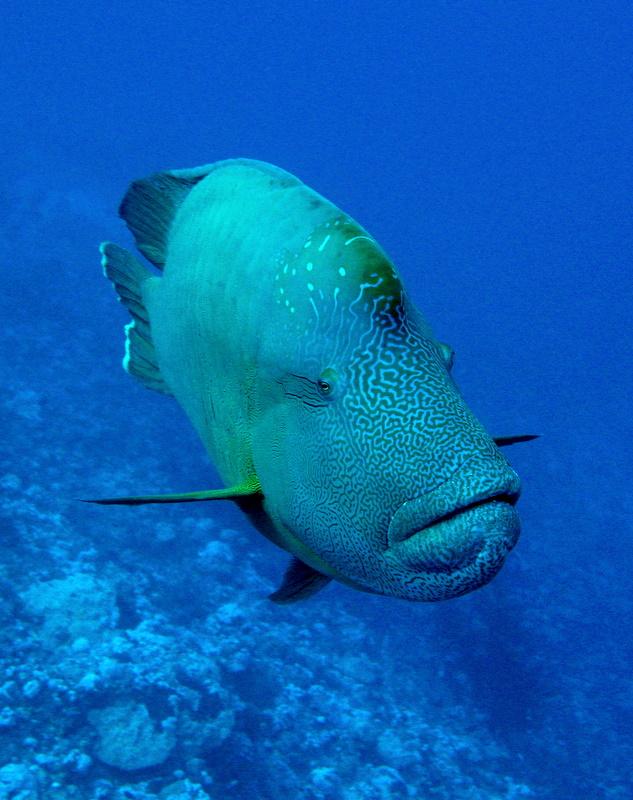 Roberto piazza immersioni nel mondo chelinus undulatus for Pesce rosso razza