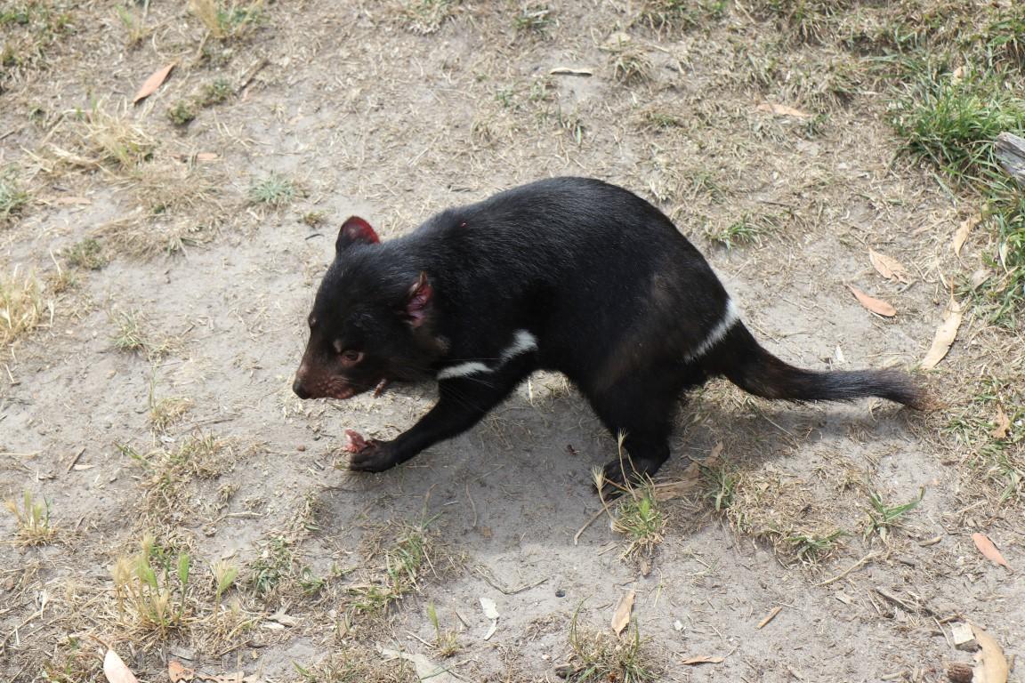 tasmanian tuholainen