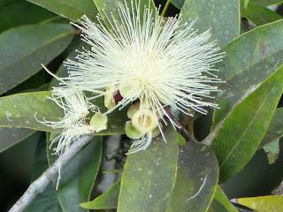 Syzygium jambos - Jamrosat - Jambosier
