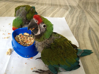 Birds for sale military macaws