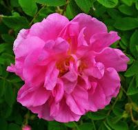 Damask Rose (Rosa damascena) in Shakespeare