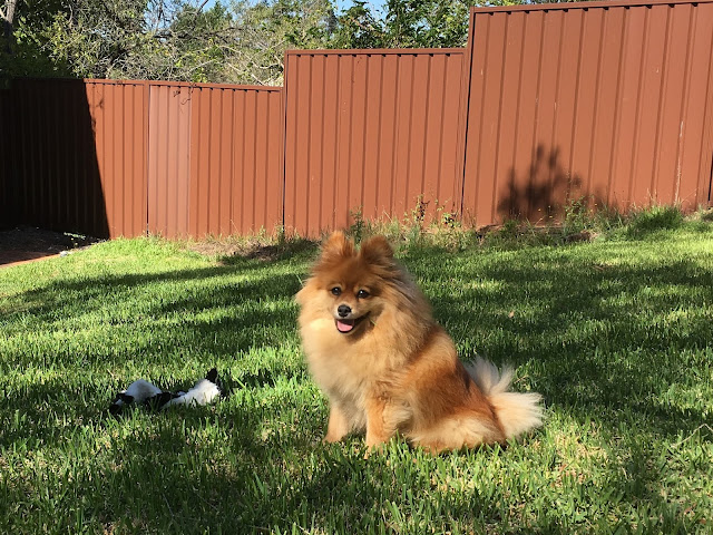 an orange pomeranian sits on green grass beside a cow toy. A brown colourbond fence in the background.